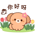 Gentle Toy Poodle (Spring, Early Summer)